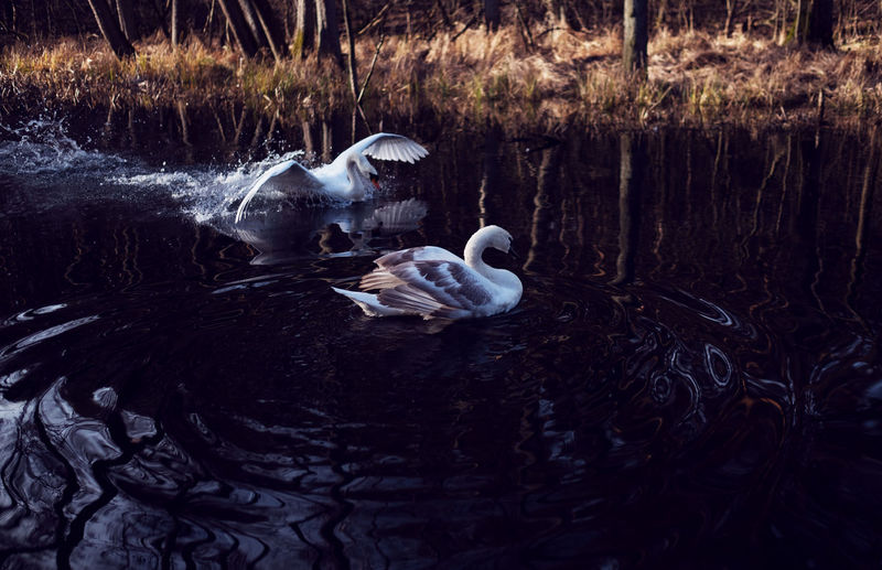 Water Animals In The Wild Animal Themes Animal Wildlife Animal Vertebrate Bird Group Of Animals Lake Swimming Nature Day No People Young Animal Duck Waterfront Poultry Outdoors Three Animals Animal Family Floating On Water
