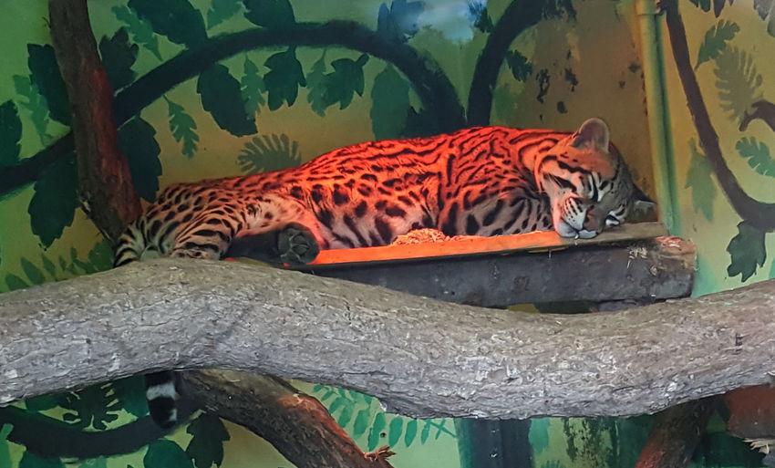 Big Cats Nature