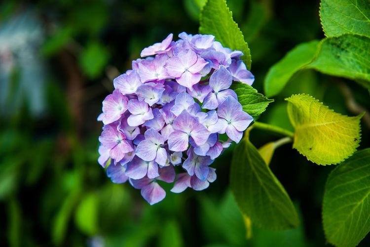 Close-up of purple hydrangea blooming outdoors