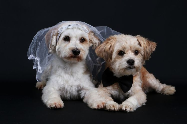 funny wedding dogs lying in the studio FUNNY ANIMALS Fly Hochzeitspaar Hochzeit♥ Shroud Wedding Animal Themes Black Background Bridal Couple Day Dog Domestic Animals Havanese Havaneser Hochzeit Maltese Malteser Mammal No People Pair Pets Portrait Studio Shot Togetherness Veil
