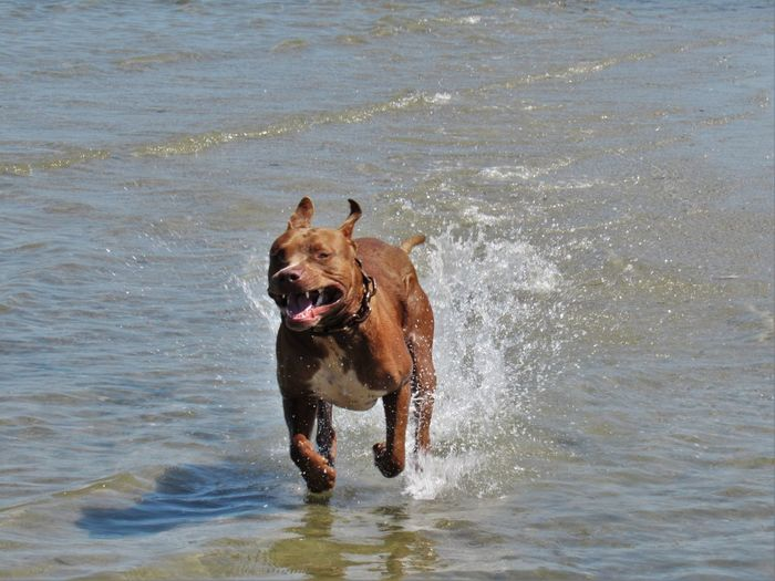 Red Pit Bull having fun in the ocean Animal Animal Themes Beach Carefree Day Dog Domestic Animals Front View Loyalty Mammal Nature One Animal Outdoors Pets Playing Rippled Sea Splashing Tranquility Water Waterfront Wave Zoology