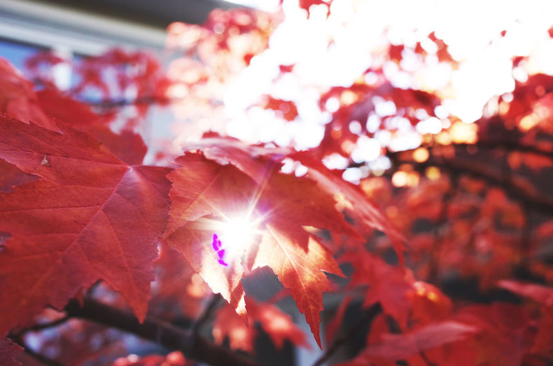autumn colors Autumn Autumn Colors Autumn Leaves Autumn Sun Beauty In Nature Branch Close-up Colours Fragility Freshness Growth Leaf Leaves Leaves🌿 Nature Outdoors Red Scenics Season  Sun Sunbeam Sunlight Vibrant Color Dramatic Angles
