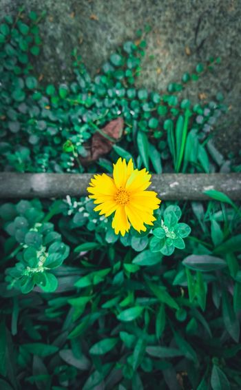 Yellow Flower Flower Nature Plant Leaf Flower Head Green Color Beauty In Nature Yellow Day Freshness Petal Close-up No People Growth Wallpapers Nature Backgrounds Google Pixel Outdoors Fragility