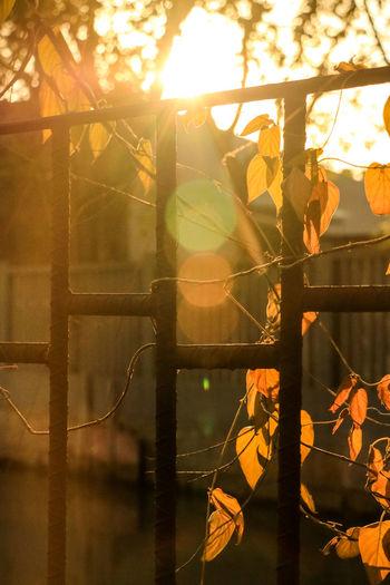 铁栏橘叶 Orange