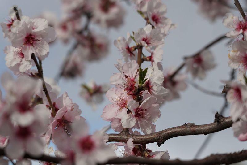 Mandelblüten Flower Flowering Plant Plant Growth Tree Fragility Freshness