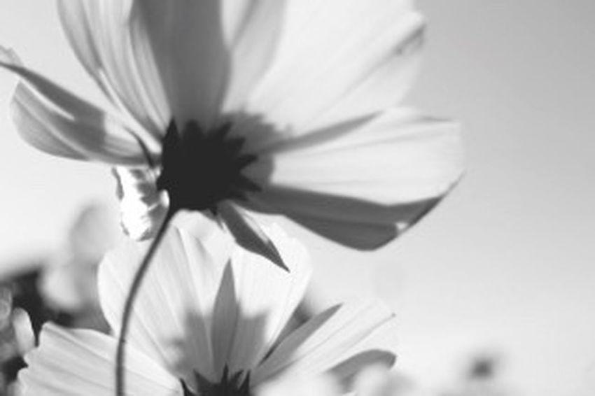 秋桜 コスモス 花 Flower こんな感じも綺麗。ここもそろそろ終わりです。また来年逢えるまで(*'͜' )⋆* モノクローム Monochrome Black And White