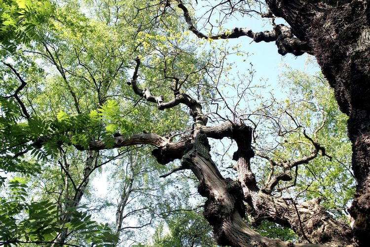 Germany, Island Vilm near Rügen Baltic Sea Beauty In Nature Branch Day Dead Tree Growth Low Angle View Nature No People Oak Tree Outdoors Sky Tranquility Tree Tree Trunk Vilm