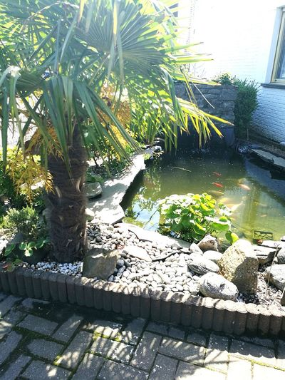 Palm Tree Frontyard Koi Pond Koi Fish Stones & Water The Journey The Innovator Original Experiences Leica HuaweiP9 Showcase June Tropical Fine Art Photography Art Of Nature Showcase July Art Work Of Art Hidden Gems  People And Places Adapted To The City TCPM Art Is Everywhere