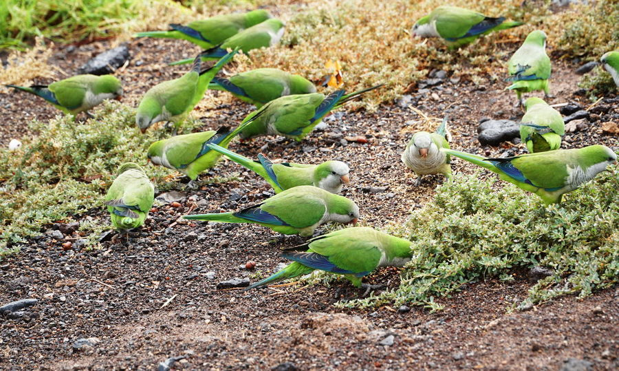 green birds1 Fuerteventura Animal Themes Beauty In Nature Bird Close-up Day Field Food Green Birds Green Color Growth Leaf Nature No People Outdoors Plant