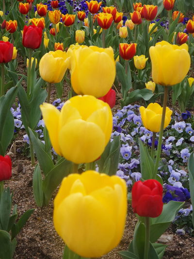 EyeEmNewHere Flower Beauty In Nature Tulip Plant Multi Colored No People Close-up Perspectives On Nature