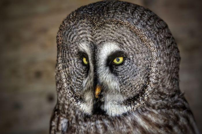 Birds Wildlife Photography Bird Photography Owl Portrait. Owl Wildlife & Nature Wildlife
