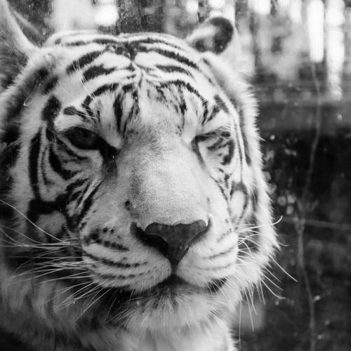 Animal Markings Animal Themes Animal Wildlife Animals In The Wild Close-up Day Focus On Foreground Mammal Nature No People One Animal Outdoors Portrait Tiger White Tiger