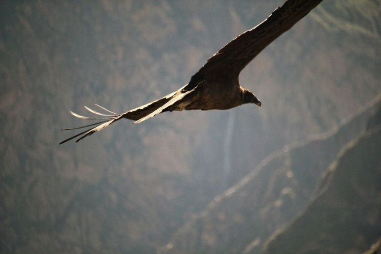 The flight of the Condor Cóndor  Bird Bird Of Prey Spread Wings Flying Tree Sky Close-up Animal Themes