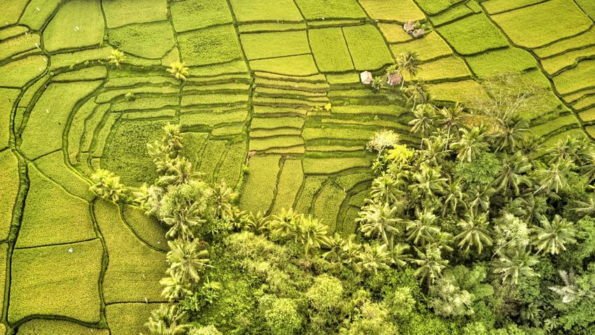 Rice Field in Bali Ubud Ubud, Bali Bali Green Color Plant Growth Landscape Land Nature High Angle View Beauty In Nature Outdoors Agriculture Rural Scene Farm Crop  Field Day Plantation Scenics - Nature Environment Tranquil Scene Tranquility No People Tree