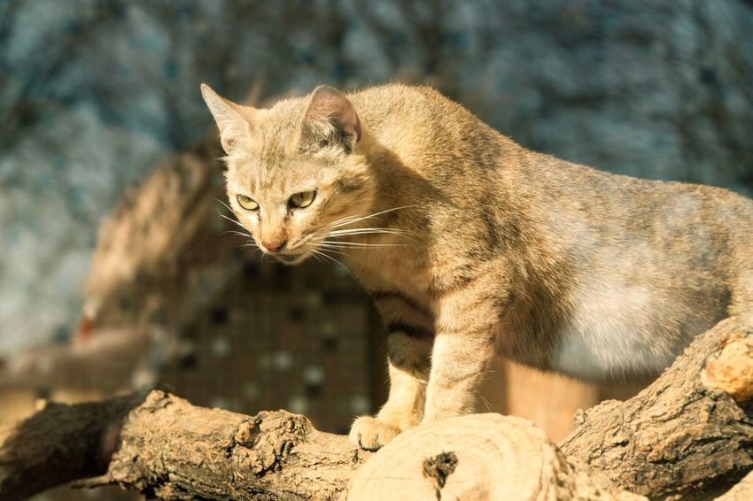 One Animal Animal Themes Mammal Rock - Object Feline Focus On Foreground No People Whisker Day Animals In The Wild Close-up Outdoors Nature Wild Cats Cat Cats Of EyeEm Sand Color Wild Watching Hunting Observing Wild Animal Pet Portraits