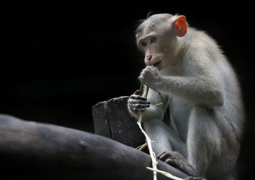 Animal Wildlife Animals In The Wild Ape Baboon Black Background Close-up Contemplation Eating Holding Looking Looking Away Mammal Nature No People One Animal Primate Sitting Vertebrate