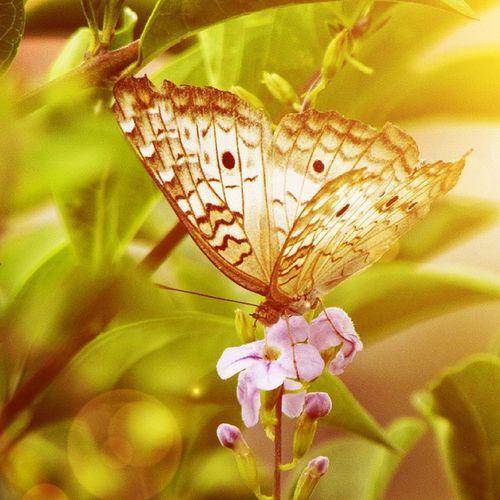Naturelovers Naturestyles Nature Nature_shooters Nature_perfection Perfection Animals Natureza Naturaleza Butterfly Mariposa BORBOLETA Flor Sunkissed Hightlight