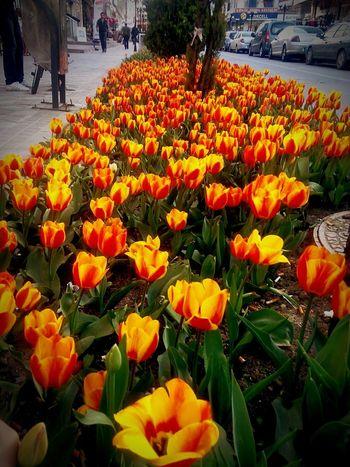 Sincan Laleler Tulipa In Turkey Turkiyekareleri