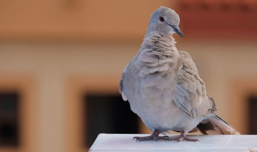 Close-up of dove on retaining wall