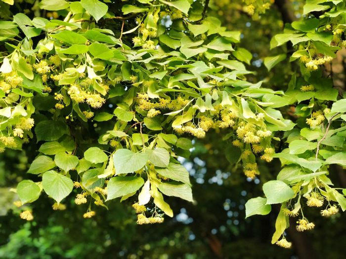 Linden branch with spring blossom in everything lights. EyeEmNewHere Sunny Yellow Bluming Flowers Floral Blossom Linden Nature Plant Part Day Close-up Sunlight Outdoors Freshness Branch Sunny Tranquility EyeEmNewHere