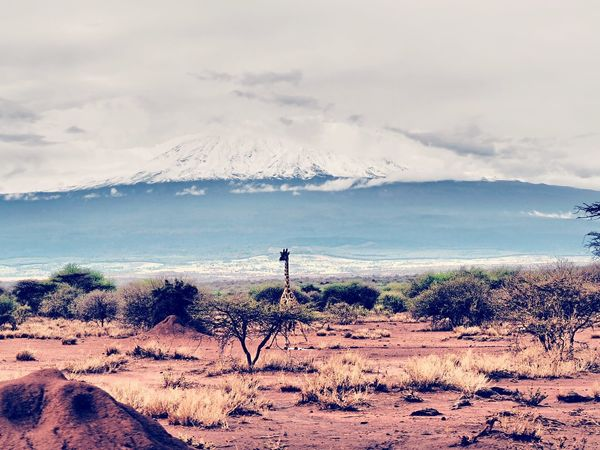 Giraffe in front of mount kilimanjaro. Giraffe Snowontop Kilimanjaro MountKilimanjaro Africa Kenia Eyeemphotography Eyeemnaturelover Beautiful Nature Cloud - Sky Sky Land Beauty In Nature Scenics - Nature Nature Day Non-urban Scene Outdoors