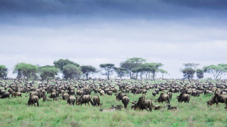 Wildebeest Grazing On Grassy Field