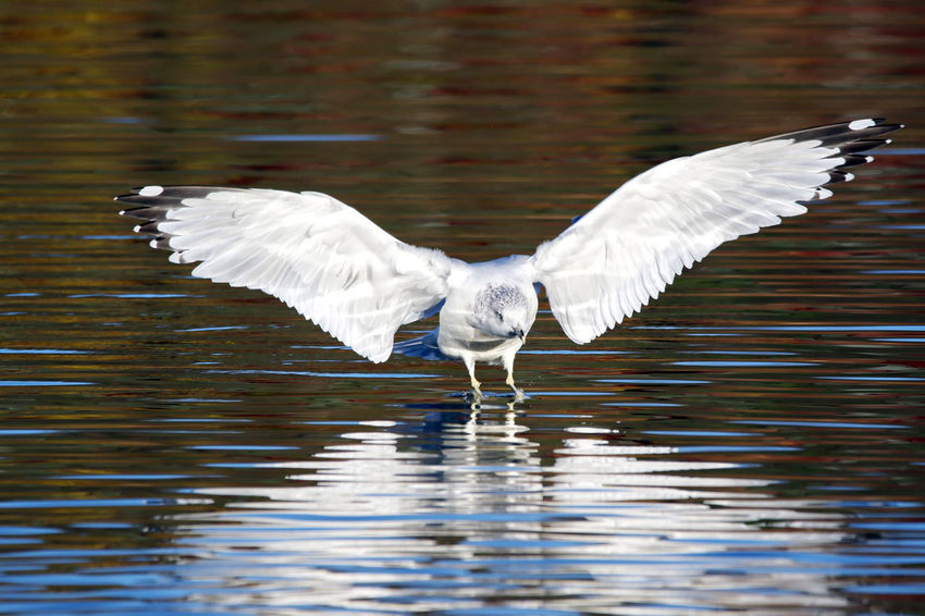 Ring-Billed Gull Animal Themes Animal Wing Animals In The Wild Beauty In Nature Bird EyeEm Nature Lover Flying Lake Motion Nature No People Ring-billed Gull Spread Wings Tranquility Water Water Bird Waterfront White Color Wildlife Zoology