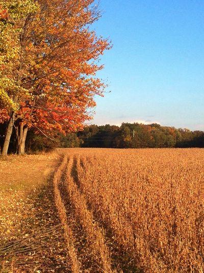 Last of the Soy Bean Harvest... Taking Photos Eye4photography Autumn Autumn Colors