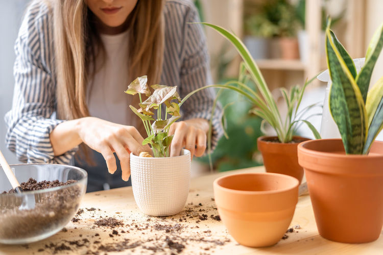 Woman gardeners taking care and transplanting plant a into a new white pot on the wooden table.