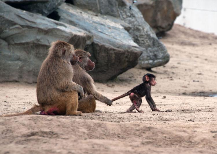 Monkey family at beach