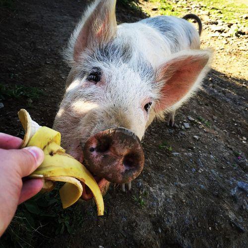 Cropped Hand Feeding Banana Peel To Pig On Field