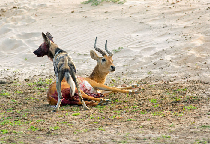 Animals In The Wild Hungry Painted Dog Wild Dogs Wildlife & Nature Wildlife Photography Animal Theme Animal Themes Carnivore Hunting Kill Mammal Nature No People Outdoors Predator Real Life Photography