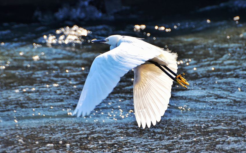 Little Egret Flying Over Lake