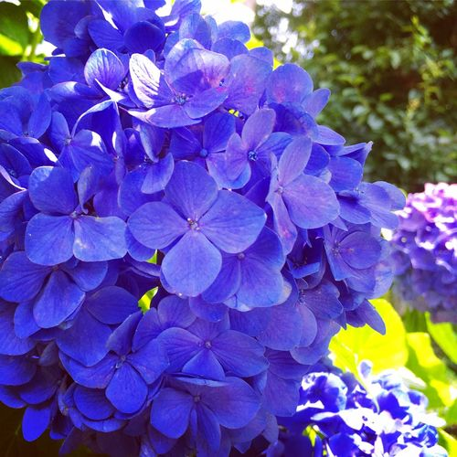 Hydrangea Purple Blue Beautiful Nature My Dad's Flowers Gardening His Hobby Japan Summer So Hot!! With My Naughty Boy How To Spend Sunday