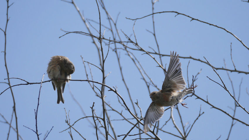 Bluthänfling Linnet Bird Birds Blue Day Flying Bird Low Angle View Nature No People Outdoors Sky Bare Tree Twig Animals In The Wild Animal Themes Birdwatching Nature On Your Doorstep Taking Photos From My Point Of View Animals Animal Wildlife Beauty In Nature Animal Two Is Better Than One