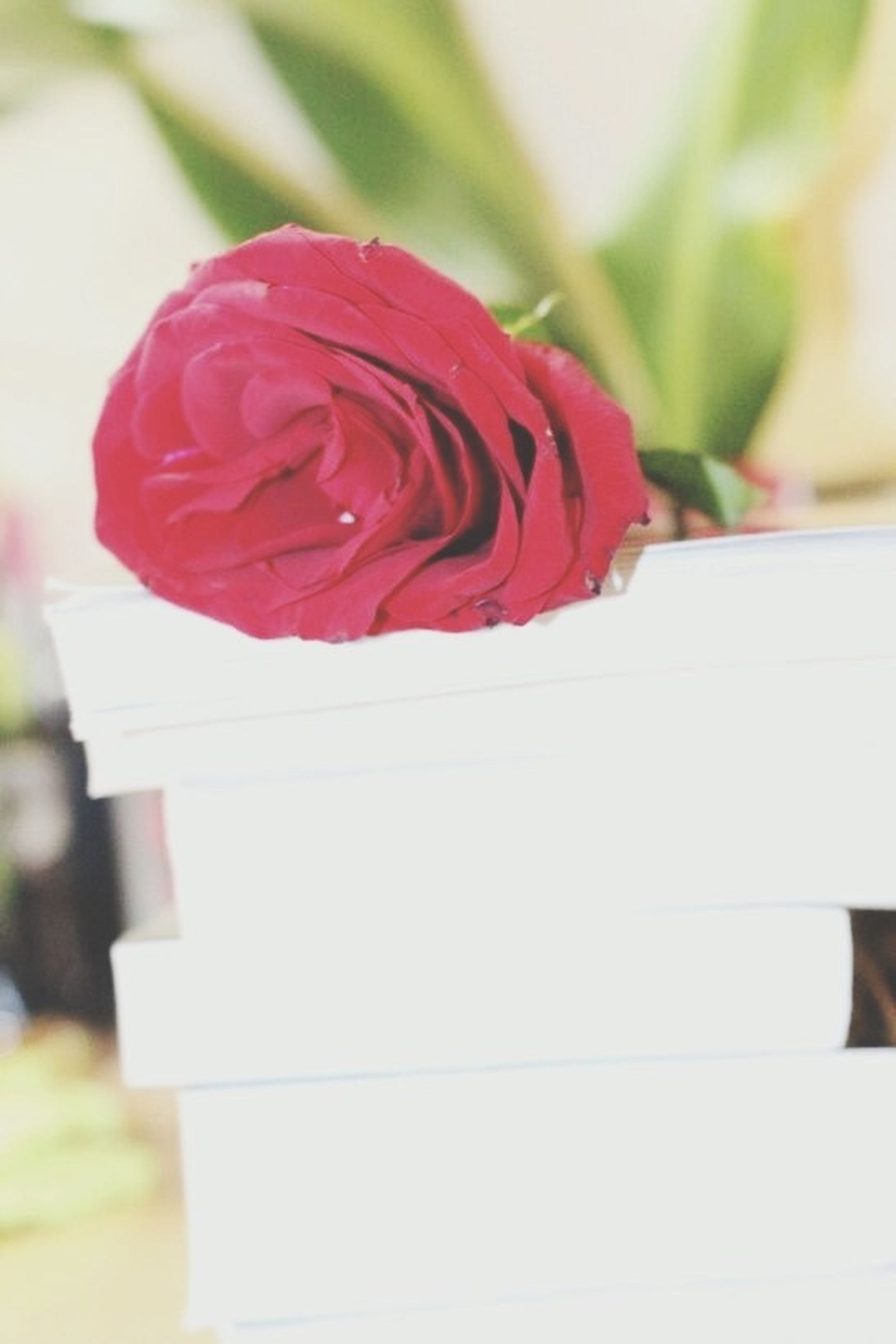 flower, close-up, red, focus on foreground, petal, indoors, flower head, selective focus, fragility, rose - flower, freshness, single flower, white color, pink color, beauty in nature, no people, nature, day, rose, growth
