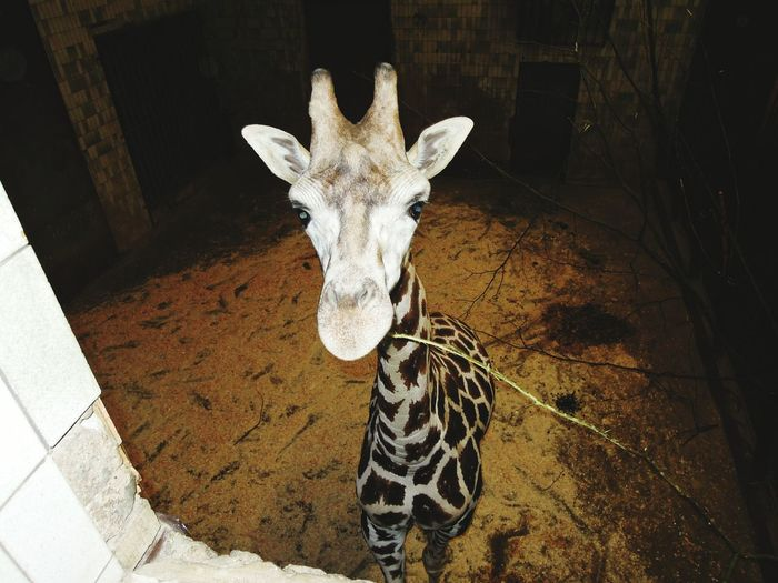 Portrait Of Giraffe In Zoo
