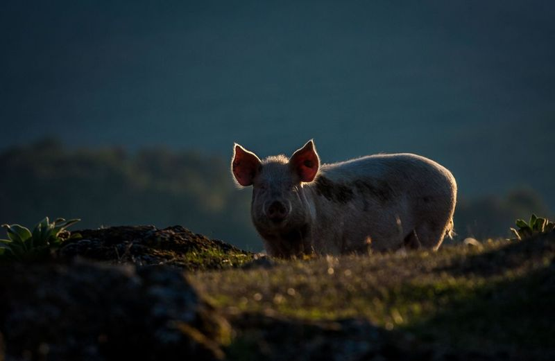 Pig standing on field during sunset