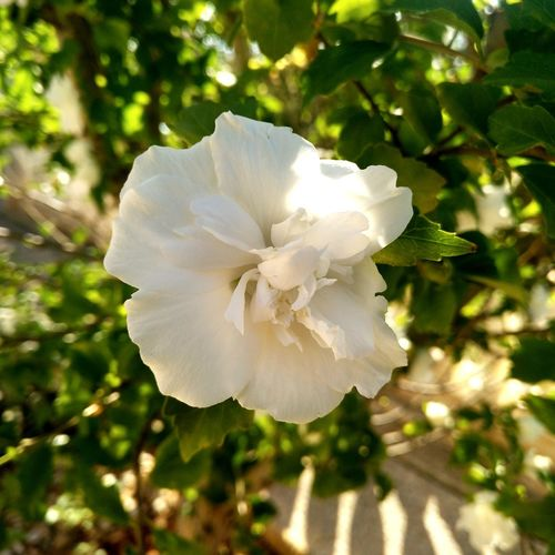 Siria's Rose 1 Orchad Urban Orchard Hibiscus Hibiscus Flower Hibiscus 🌺 Polinization Hibiscus Syriacus Flower Head Flower Tree Branch Petal Sunlight White Color Blossom Springtime Scented Plant Life Flower Tree Wild Rose
