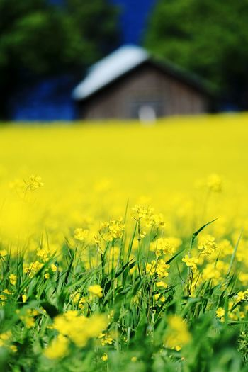Growth Plant Yellow Beauty In Nature Field Land Nature No People Green Color Flower Tranquility Day Selective Focus Flowering Plant Freshness