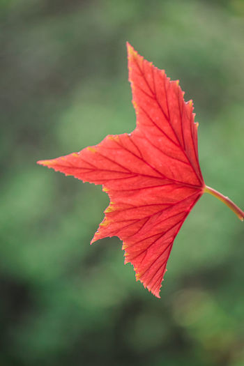 Close-up of red leaf against blurred background