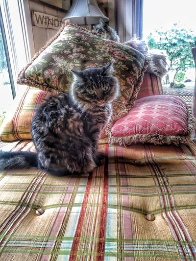 Domestic Animals Lilly And Lou Lou Fainting Couch Beautiful Pets Disappointment Face Cats Of EyeEm Pet Portraits