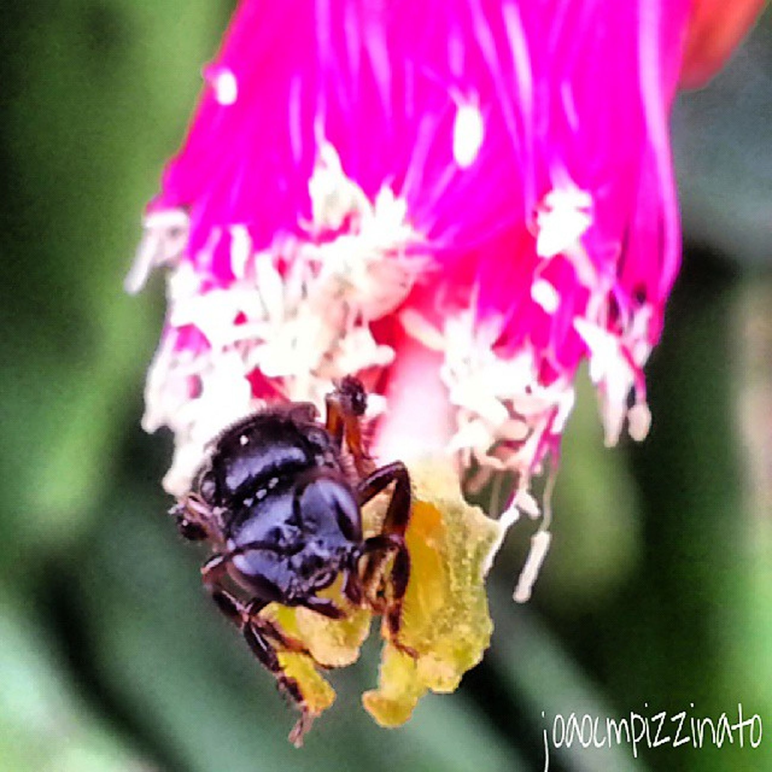 flower, freshness, close-up, insect, petal, focus on foreground, fragility, flower head, one animal, beauty in nature, animal themes, animals in the wild, nature, selective focus, wildlife, growth, pink color, no people, day, blooming