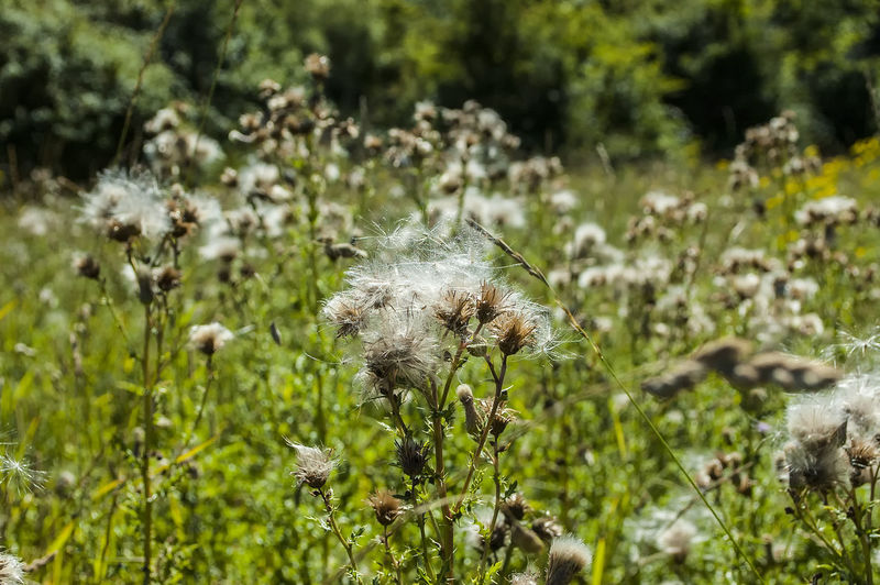 Going to seed Seeds Nature Meadow Summer Summertime Portsmouth Hampshire  England Thistle Close-up Plant Grass