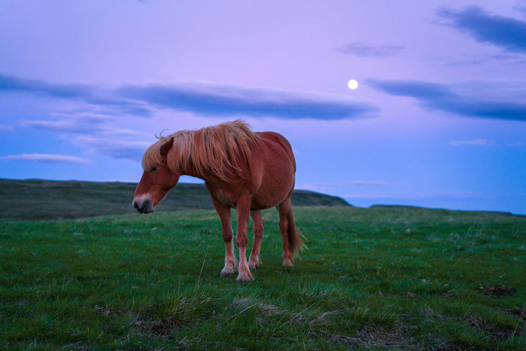 Lone Horse and Moonlight Iceland Lonely Moon Animal Themes Beauty In Nature Domestic Animals Field Grass Grazing Horse Icelandic Landscape Livestock Mammal Mane Moonlight Nature Night No People One Animal Outdoors Purple Sky Standing