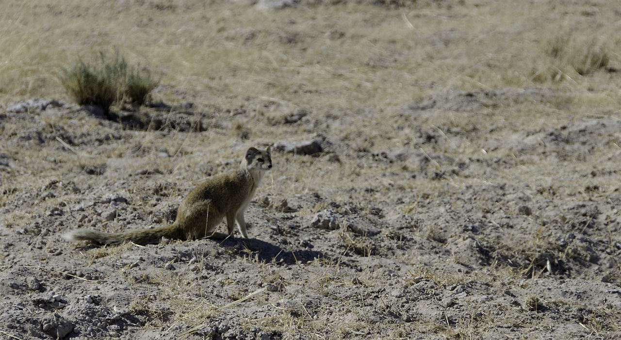 animals in the wild, mammal, animal themes, nature, animal wildlife, day, no people, outdoors, one animal, sand, grass, cheetah