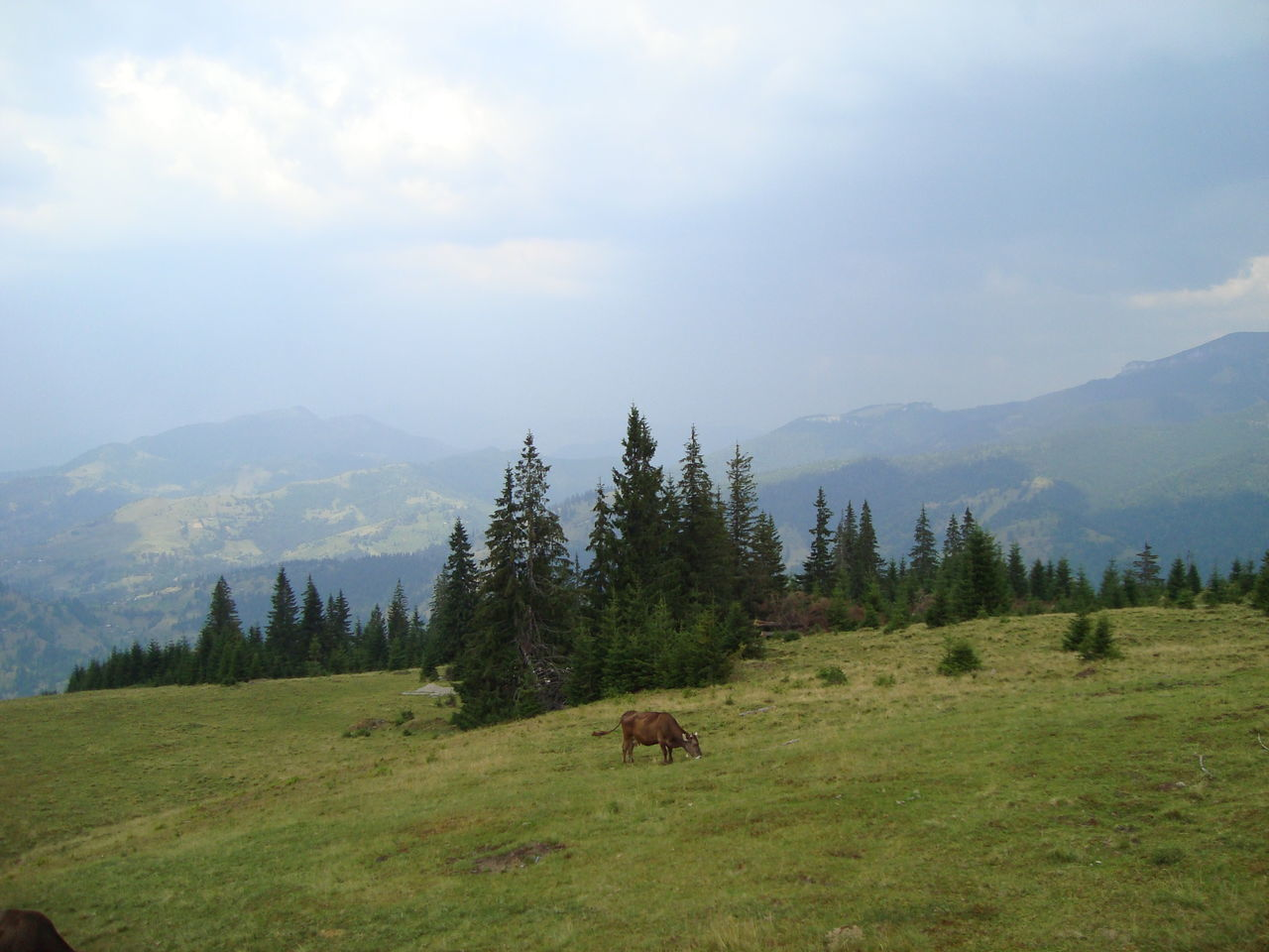 Cow Grazing On Grassy Hill Against Cloudy Sky