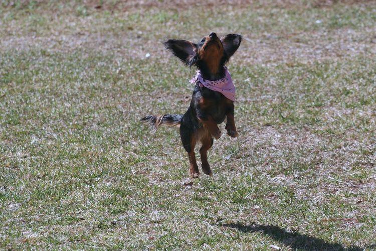 Dauchunds Weiner-Dog Animal Themes Cute Dog  Dauchshund Day Dog Domestic Animals Female Dog Grass Jumping Dog Mammal No People One Animal Outdoors Pets Small Dog