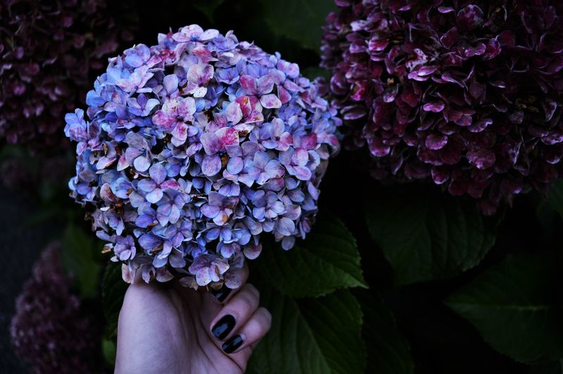 Cropped Hands Of Woman Holding Purple Flowers Blooming Outdoors
