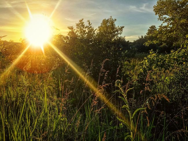 Midwest sunset Sun Growth Nature Sunbeam Sunlight Lens Flare Sunset Beauty In Nature Plant Field Sky Tranquility Scenics Grass No People Landscape Tree Day